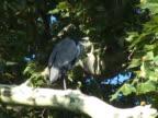 NTSC: Grey heron in a tree video