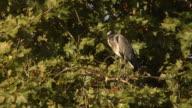 Grey heron in a tree video
