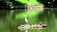 Grey Heron In The Pond video