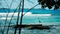 Grey heron (Ardea cinerea), Maldives, Island video