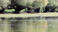 grey heron nature wildlife video