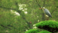 Grey Heron on top of a tree waiting out a rainstorm video