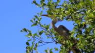 Grey Heron on Tree Branch Close-up video