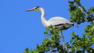 Grey Heron on Tree Branch video