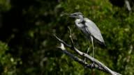 Grey heron sitting on a tree video