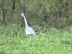 PAL: Grey heron stalking video