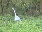 NTSC: Grey heron stalking video