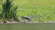 Grey Heron  (Ardea cinerea) video