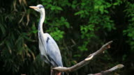 grey heron video