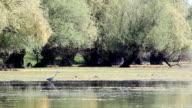 grey heron walking in swamp video