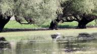 grey heron wildlife video