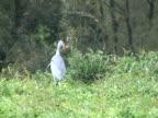 PAL: Grey heron with prey video