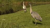 Grey herons video
