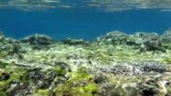 Grey Mullet in shallow atlantic ocean at azores video