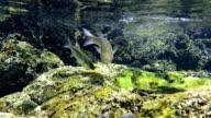 Grey Mullet in the atlantic ocean at azores video