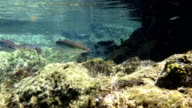 Grey Mullet in the atlantic ocean on azores video