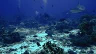 grey reef shark, red sea video
