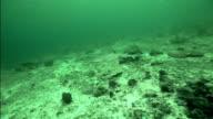 Grey reef shark video