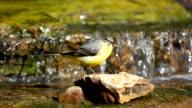 Grey Wagtail bird video