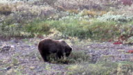 Grizzly Bear Eating Berries video