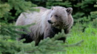 Grizzly bear eating grass video