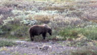 Grizzly Bear Feeding on Berries video