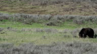 Grizzly Bear in Yellowstone National Park video