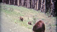1961: Grizzly bear mom and young cubs on side of road. video