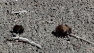 Grizzly bear mother sow walks cub Yellowstone National Park Wyoming video