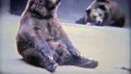 1973: Grizzly brown bears bored in a tiny habitat at the zoo. video
