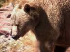 NTSC: Grizzly Walking video