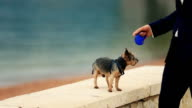 Groom walking the cute yorkshire terrier on sunny quay in Montenegro, Budva close up video