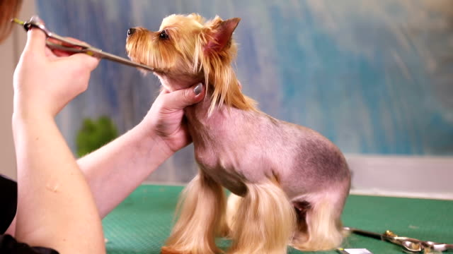 Groomer makes a dog hairstyle video