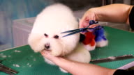 Groomer makes a stylish haircut of thoroughbred Bichon Frise dog video