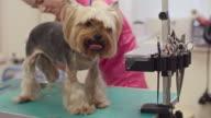 Grooming a Terrier video