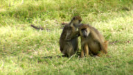Grooming Baboons video