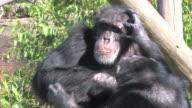 Grooming Chimps in HD video