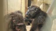 Grooming Chimps. video