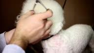 Grooming fringe of white dog video