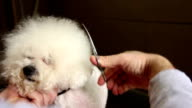 Grooming of the head of bichon frise video