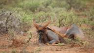 Grooming tsessebe antelope video