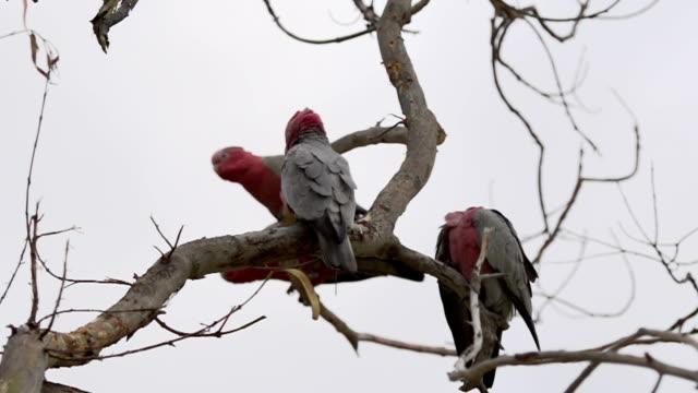 Group Gang-gang Cockatoos in a tree flying away in slow motion in Kalbarri, Western Australia video