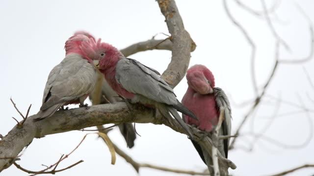 Group Gang-gang Cockatoos in a tree in Kalbarri, Western Australia video
