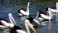 CLOSE UP: Group of adorable pelicans and black ducks swimming in the river video