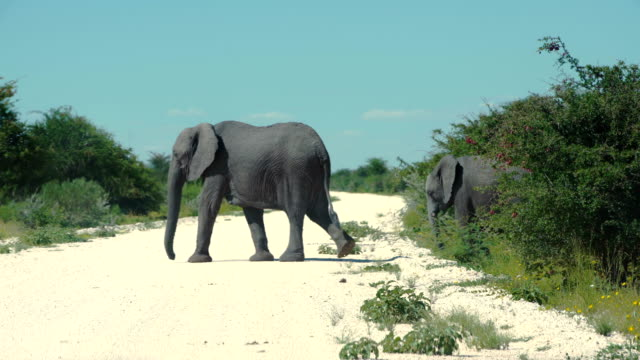 Group of African elephanst crossing road video