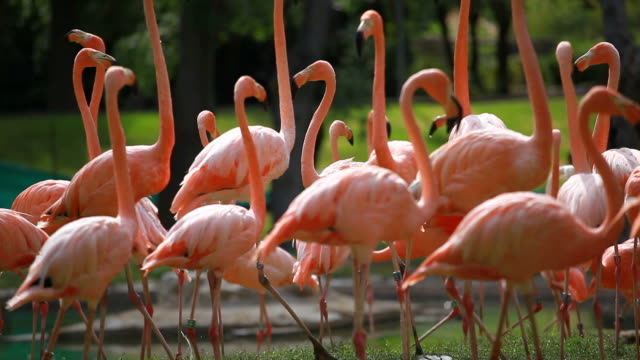 Group of American Flamingo video