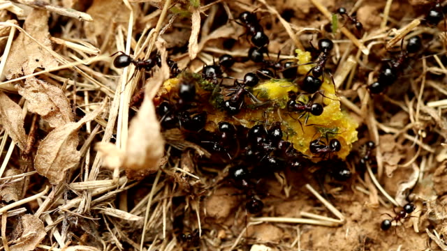 Group of ants with dried fruit video