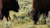 Group of bison - zoom out video