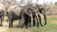 Group of bull elephants drinking from the edge of a river in the Okavango Delta video