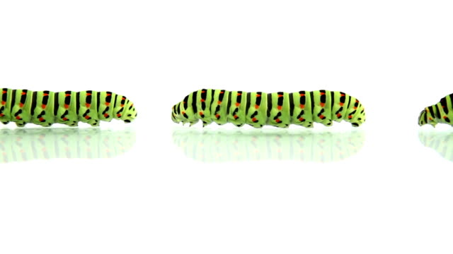 Group of caterpillars crawling, loopable video
